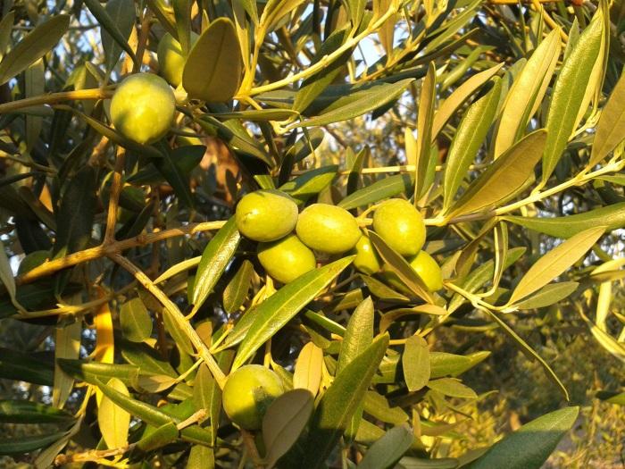 biancolilla olive